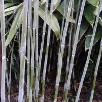 ekspansywne bambusy