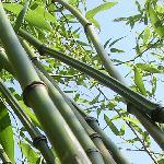 bambusy drzewiaste