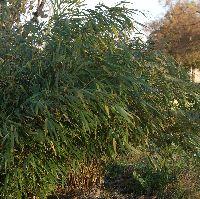bambusy kępowe