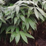 bambusy krzewiaste