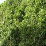 bambusy żywopłotowe